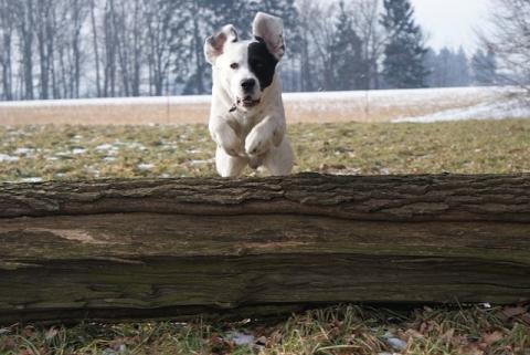 Imatge gos saltant lleugerament